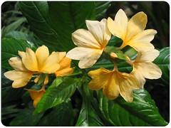 2-tone yellow Crossandra (Firecracker Flower), in our garden