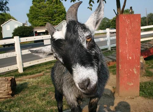 LANCASTER - Goat 024