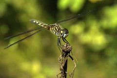 Landing Practice (Emery O) Tags: wings dragon dragonflies insects zippers macrolife machickanee odanates