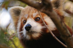 red panda (itchybana) Tags: