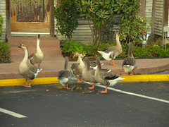 Trying to decide on dinner (PhotoGrandma) Tags: nature austin geese funny texas joescrabshack lifetravel