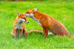 Softly Whispering I love you...:O)) (law_keven) Tags: family red england green grass animals furry wildlife surrey furryfriday creatures foxes soe explore500 britishwildlifecentre abigfave anawesomeshot theunforgettablepictures theperfectphotographer goldstaraward damniwishidtakenthat photoexel