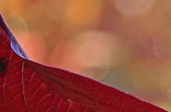 Sunshine (randihausken) Tags: autumn red leaves bokeh rd hst blader naturesgallery bokehlicious sibirkornell multimegashot