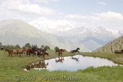 IMG_7863 (White Bear) Tags: summer horses horse mountains russia russian россия лошадь русский конь кони horseshorse лошади русские российская россии karachai российской