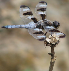 Twelve-spotted skimmer, male (Vicki's Nature) Tags: canon georgia ode dragonfly skimmer s5 odonata libellulapulchella twelvespottedskimmer odonate digitalcameraclub supershot anawesomeshot goldenphotographer natureoutpost theperfectphotographer vickisnature beautifulworldchallenges natureandnothingelse fantasticinsect 100commentgroup vosplusbellesphotos readygame readymother