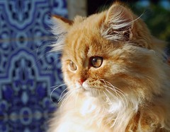 Shiri (Abdalla Naas) Tags: cat feline 1001nights shiri goldenheart bestofcats fantasticanimalphotos orangelonghair pet100 goldenheartaward alittlebeauty boc1008