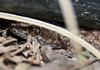 289 (fucher is now) Tags: gecko babygecko mediterraneanhousegecko