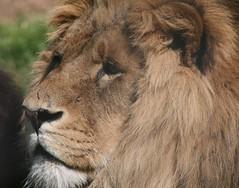 lion (Saxon9) Tags: new wild brown animals canon fur zoo eyes lion australia mane pfogold
