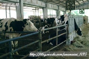 吃草中的牛