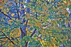 OLDP11.14.08 CO - Foliage