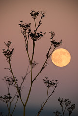 Full Moon With Fennel (Amicus Telemarkorum) Tags: autumn sunset shadow plants moon evening fullmoon moonrise bayarea rise harvestmoon fennel potrerohill jeffreyrueppelphotography