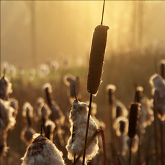 Happy Bokeh Sunrise (NaPix -- (Time out)) Tags: morning canada nature sunrise gold quebec explore cattail bullrush 500x500 bsquare firstquality explored explorefrontpage twtme imagepoetryimageposie laurention bokehwednesday napix winner500