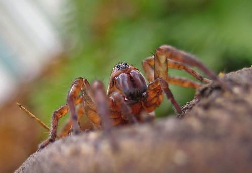 Trochosa sp. femelle