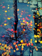 """The Tree of the Fallen Leaves"" (Sion Fullana) Tags: newyork reflection nature colors landscape reflejo mirrored reflexions allrightsreserved redleaves fallenleaves iphone yellowleaves greenwichavenue supershot nakedtree bej abigfave colorphotoaward colorfulnature artlegacy iphonephotography betterthangood theperfectphotographer sionfullana damniwishidtakenthat sionfullanasphotography thetreeofthefallenleaves shytree iphoneography iphoneographer sionfullana fantasticreflection throughthelensofaniphone"