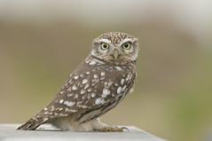 Little Owl (Athene noctua) (m. geven) Tags: gelderland nld roofvogel nederlandthenetherlands interestingness136 specanimal gemeenteduiven
