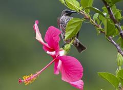 Hibiscus and Amethyst sunbird (Ragnhild & Neil Crawford) Tags: hibiscus sunbird