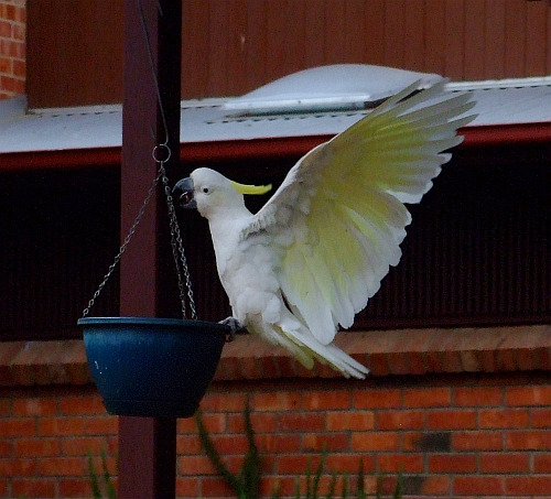 wingspread cockatoo