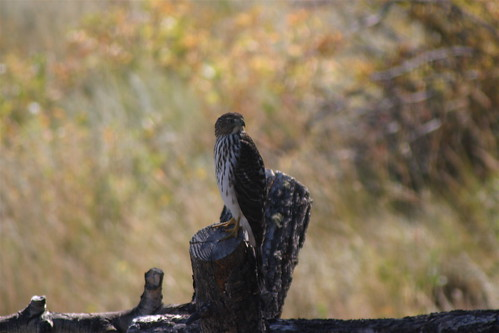 Coopers Hawk on the fence