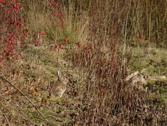 Blending in - spot the bunny (Pickweb.) Tags: blending