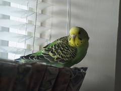 PB232730 (oaklandsailed) Tags: budgie parakeet link olympuse510