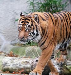 0811_Zoo_14th_192 (Bodokitty) Tags: sumatrantiger pantheratigrissumatrae wpzwoodlandparkzoo