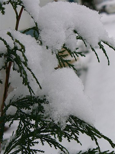 Small pine and snow