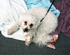 Because he's always lurking around (Graustark) Tags: dog white dirty dinky ratapoo ratterrierpoodlemix