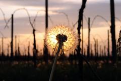 Incandescent dandelion