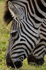 Zebra Close Up (Wild Dogger) Tags: soe supershot platinumphoto impressedbeauty diamondclassphotographer flickrdiamond theunforgettablepictures theperfectphotographer goldwildlife goldstaraward 100earthcomments fantasticwildlife
