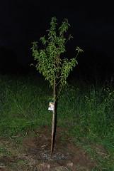 New Peach Tree