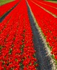 Reds (Johan_Leiden) Tags: flowers red primavera dutch landscape spring tulips thenetherlands bulbs horticulture flowerfields tulpen noordwijkerhout voorjaar lisse voorhout tulipfields bollenvelden tulipani supershot allflowers yourbestshot goldstaraward bulbseason bellissimaprimavera lpred lifetravel