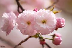 (* Yumi *) Tags: pink flower spring explore cherryblossom   yourfavorite blueribbonwinner 25faves anawesomeshot impressedbeauty theperfectphotographer goldstaraward