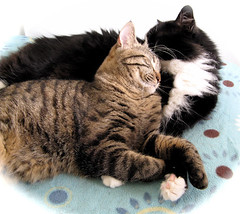 Kitty Love (veganmichele) Tags: rescue pet cute love cat tabby kitty tuxedo feral efa coolestphotographers