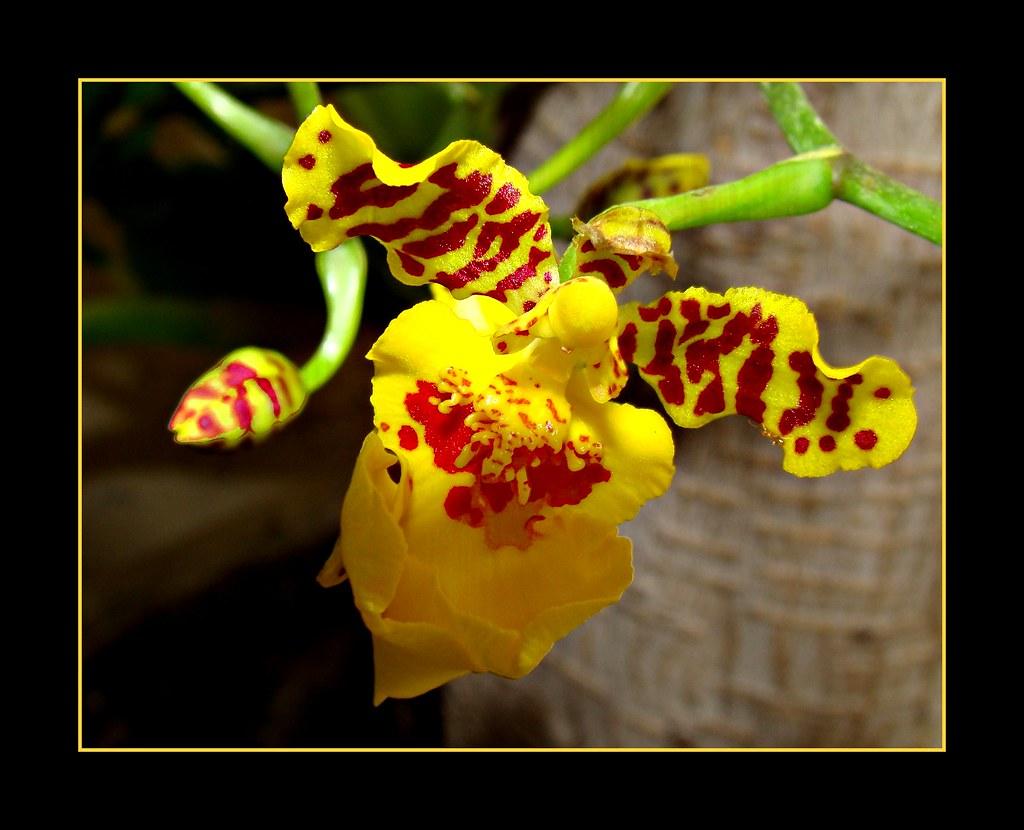 Micro-Orchid (Oncidium Varicosum) - It´s opening...