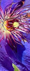 aUntitled-1DSC01167 (webwandering-back.having.recovered.password) Tags: blue flower purple clematis stamen bloom carole gardenflower edrich golddragon diamondclassphotographer