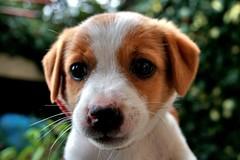 Maya (valerius25) Tags: portrait dog cane canon puppy maya ritratto cucciolo 400d valerius25 valeriocaddeu animaleferocissimo