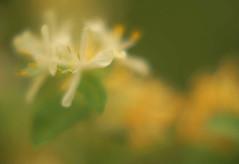 honeysuckle white and gold (fiona j.) Tags: orange white flower macro green nature june 50mm gold soft dof minolta bokeh sony impressionism honeysuckle wildflower 2008 macrofilter alpha100 fionaj