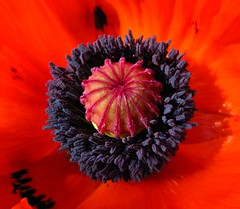 Scarlet Fever (Sands ~♥~) Tags: uk red flower macro canon scarlet garden circle purple centre powershot seeds northumberland round poppy pollen ruby oriental middle papaver g9