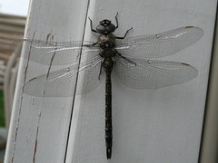 A dragonfly that overnighted on my studio jamb.