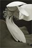 White Lotus Flower - IMG_1367-bw White Lotus Flower