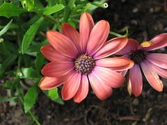Little Purple Happy Flowers (s.kosoris) Tags: flowers canon garden closeups happyflowers s3is canonpowershots3is skosoris