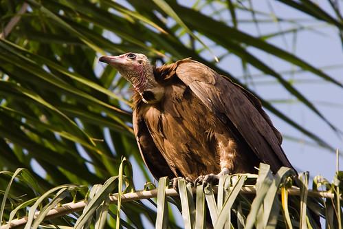 Hooded Vulture; Kapgier; Necrosyrtes monachus by jwsteffelaar.