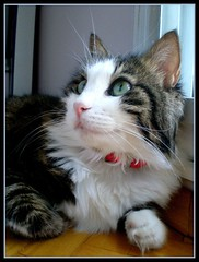 I'm cute girl (sevgi_durmaz) Tags: fab pet cute nature beauty animal cat happy sweet adorable sweetie lovely cuteness silvermedal soe mypet kissable artcafe beautifulcats bej mywinners bestofcats ultimateshot diamondclassphotographer flickrdiamond naturephotoshp theperfectphotographer goldstaraward goldenheartaward worldglobalaward globalworldawards boc0708