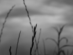 HBW from Mahomet, Illinois (kevin dooley) Tags: park sunset bw favorite usa white lake plant black macro beautiful wow wednesday happy grey illinois interesting fantastic flickr pretty dof very bokeh good gorgeous awesome gray seed award superior super best most winner stunning excellent much champaign incredible breathtaking lakeofthewoods exciting count silouhette phenomenal mahomet hbw aplusphoto
