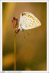 Argus 4 (Joh63) Tags: sunset macro butterfly papillon argus sigma150 argusbleu