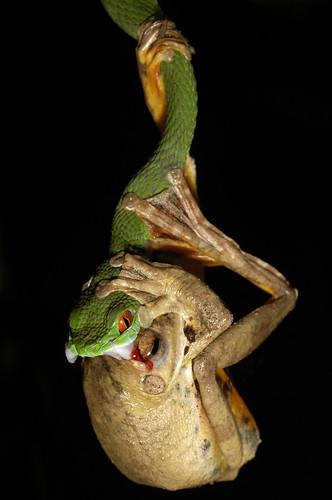 Rana abrazando a serpiente