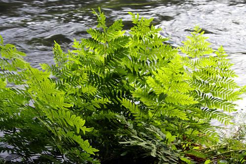 Planta de Osmunda regalis no Ulla