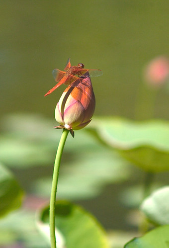 Dragonfly on Lily Bud