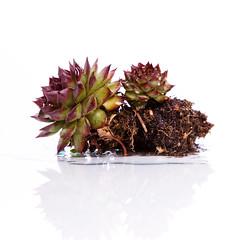 (fotoschuh) Tags: flower water studio wasser pflanze drop blume blitz walimex tropfen kaktus tamron90 strobist macrophotosnolimits