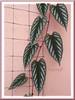 Cissus discolor (Rex Begonia Vine, Trailing/Climbing Begonia Vine, Painted Cissus)